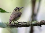 Golden-crowned Spadebill - Platyrinchus coronatus
