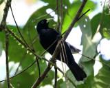 Scarlet-rumped Cacique - Cacicus uropygialis