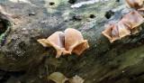 Auricularia sp.