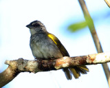 Black-striped Sparrow - Arremonops conirostris
