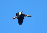 Black-bellied Whistling-Duck - Dendrocygna autumnalis