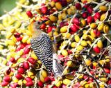 Hoffman's Woodpecker - Melanerpes hoffmannii