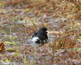 Dark-eyed Junco - Junco hyemalis (taking a bath)