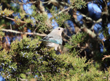 Mountain Bluebird - Sialia currucoides (female)