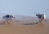 Sanderling - Calidris alba (with a seaworm being chased by another Sanderling)