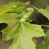 Succulent Oak Gall Wasp galls - Dryocosmus quercuspalustris