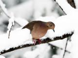 Mourning Dove - Zenaida macroura (in the snowstorm)
