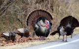 Wild Turkey - Meleagris gallopavo (male displaying for the females)