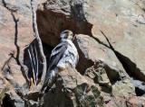 Peregrine Falcon - Falco peregrinus