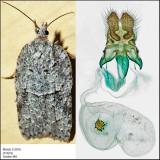 3557 - Acleris maximana (female)