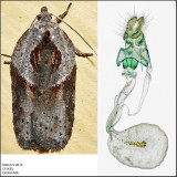 3543 - Stained-back Leafroller - Acleris maculidorsana (female)