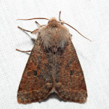 10495 - Speckled Green Fruitworm Moth - Orthosia hibisci