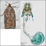 3518 - Acleris braunana (female)