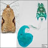 3516 - Acleris comandrana (female)