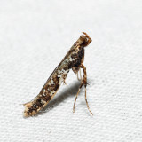 0637 - Caloptilia serotinella (411)