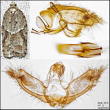 3540 - Acleris placidana (male)