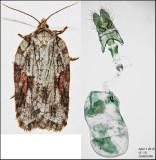 3509 - Acleris ptychogrammos (female)