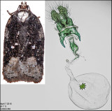 3544 - Acleris clarkei (female)