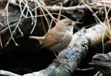 Winter Wren - Troglodytes hiemalis