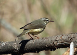 Louisiana Waterthrush - Parkesia motacilla