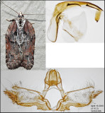 3542 - Masked Leafroller - Acleris flavivittana (male)