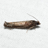 3251 - Bare-patched Oak Leafroller - Pseudexentera ?spoliana *