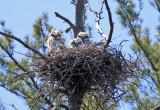 Great-horned Owls (on nest) - Bubo virginianus