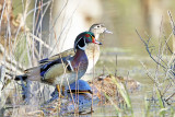 Wood Ducks - Aix sponsa