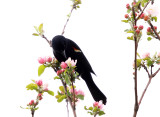 Red-winged Blackbird - Agelaius phoeniceus (feeding on caterpillars in apple blossoms)