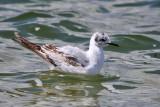 Bonaparte's Gull - Chroicocephalus philadelphia