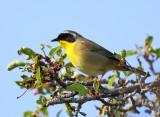 Common Yellowthroat - Geothlypis trichas