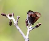 Henry's Elfin - Callophrys henrici