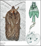 3558 - Acleris busckana (female)