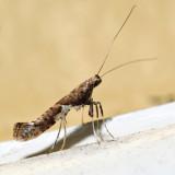0639 - Caloptilia stigmatella *