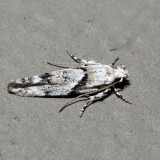 1851 - Stripe-backed Moth - Arogalea cristifasciella *
