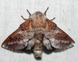 7657 - American Lappet Moth - Phyllodesma americana