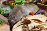 Meadow Vole - Microtus pennsylvanicus