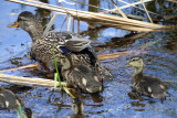 Mallard - Anas platyrhynchos (female & chicks)