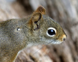 American Red Squirrel - Tamiasciurus hudsonicus (with a tick attached)