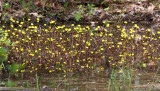 Yellow Water Buttercup - Ranunculus flabellaris