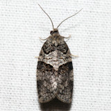 3672 - Gray Leafroller - Syndemis afflictana *