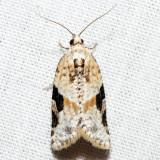 3625 - Gray-banded Leafroller - Argyrotaenia mariana*