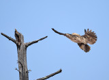 Great-horned Owl - Bubo virginianus (recently fledged)