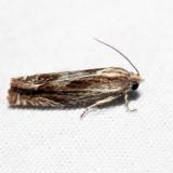 2916 - Beautiful Phaneta Moth - Eucosma formosana *