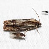 2916 - Beautiful Eucosma - Eucosma formosana