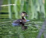Wood Duckling - Aix sponsa