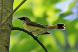 American Redstart - Setophaga ruticilla (immature male)