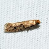 0412 - Niditinea orleansella
