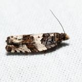 3223 - Gypsonoma fasciolana *