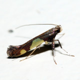 0595 - Caloptilia bimaculatella?